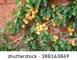 Apricots Ripening Against Sunn...
