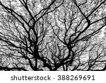 """Small photo of silhouette of branches of giant old tree """"Albizia lebbeck Benth"""""""