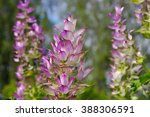 Clary Sage Plant In Garden In...