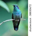 Green Violet Ear Hummingbird ...