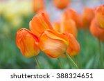 dutch orange tulips close up.... | Shutterstock . vector #388324651