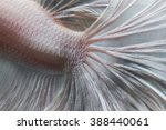 Closeup skin of betta fish...