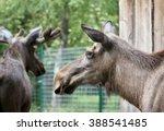 The Big Moose Close Up Portrait