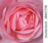 Pink rose flower - stock photo