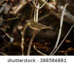 pallas's grasshopper warbler ... | Shutterstock . vector #388586881