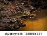 pallas's grasshopper warbler ... | Shutterstock . vector #388586884