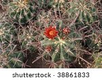 Small photo of Cactus Acanthocalycium glaucum