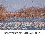 Snow Geese Taking Off Into The...