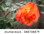 Orange Knockout Rose