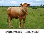 Single Brown Cow In A Field