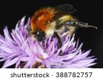 The Common Carder Bee  Bombus...