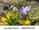 crocuses blooming in the... | Shutterstock . vector #388839031