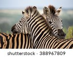 herd of zebras to grant private ... | Shutterstock . vector #388967809