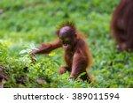 Baby Sumatra Orangutan...