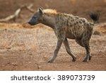 Close Up Spotted Hyena  Crocut...