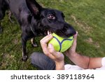 Stock photo a black german shepherd dog playing with its owner on a frisk morning in the park 389118964