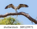 An Osprey With Its Freshly...