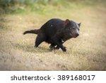 tasmanian devil's running in a...   Shutterstock . vector #389168017