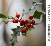 Holly  Ilex Aquifolium  Berrie...