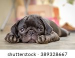 Stock photo black puppy pug dog lying on concrete floor 389328667