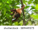 Small photo of Red Howler Monkey (Alouatta seniculus) in Tambopata National Reserve, Peru