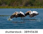 pair of  great white pelican... | Shutterstock . vector #38945638