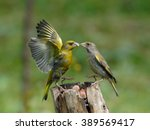 Male And Female Greenfinches ...