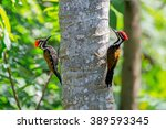 Two Black Rumped Flamebacks Or...