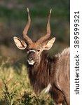 Small photo of Portrait Nyala antelopes, the nyala (Tragelaphus angasii), also called inyala