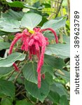 Small photo of Acalypha hispida or philippines medusa flower