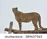 Small photo of Cheetah (Acinonyx jubatus) on alert