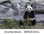 giant panda is eating bamboo in ... | Shutterstock . vector #389651011