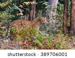Leopard  Panthera Pardus  Is...