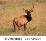 bull  elk in autumn in  rocky...