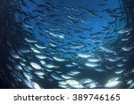Live Wild Tuna Fish Underwater...
