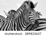 Portrait Of A Zebra At The...