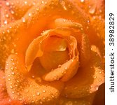 Orange rose with water drops - stock photo
