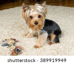 Stock photo dog yorkshire terrier is playing with a toy on the carpet 389919949