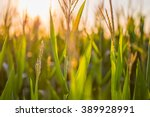 Southern Maryland Corn Field A...