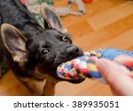 Stock photo funny german shepherd puppy pulling a tug toy selective focus on the nose 389935051