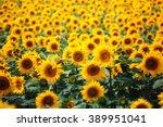 sunflower field | Shutterstock . vector #389951041