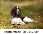 Cute Puppy English Springer...
