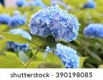 hydrangea | Shutterstock . vector #390198085