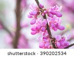 Chinese Redbud Blooming In...