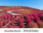 beautiful kochias hill in...   Shutterstock . vector #390205681
