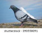 Beautiful Pigeon Walks On The...