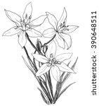 White Star Of Bethlehem Flower...