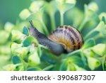 Garden Snail  Helix Aspersa  ...