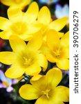 Yellow Crocus Spring Flower...