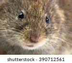 Close up of head of Bank vole mouse (Myodes glareolus) with snout, whiskers and eyes - stock photo